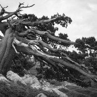 Pini loricati nel Giardino degli Dei - Parco del Pollino
